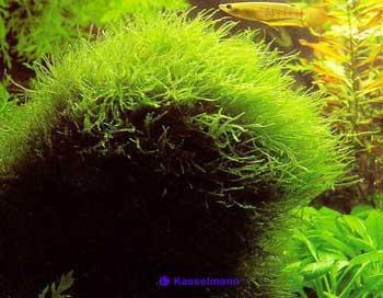 Яванский мох.
